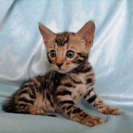 Кошки - Котята бенгальской породы , 0