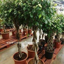 Комнатные растения - Фикус бенжамина Экзотика переплетенный 170-190 см, 0