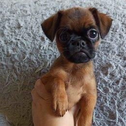Собаки - Пти брабансон, 0