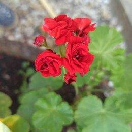 Комнатные растения - Пеларгония розебудная красная, 0