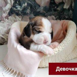 Собаки - Щенок бигля, 0