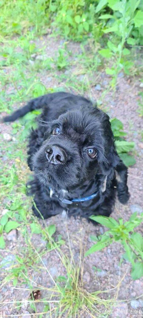 Американский кокер спаниель черный щенок по цене 30000₽ - Собаки, фото 0