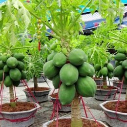 Рассада, саженцы, кустарники, деревья - саженцы папайя, 0