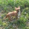 Чихуахуа кобби гладкошерстный по цене 7900₽ - Собаки, фото 3