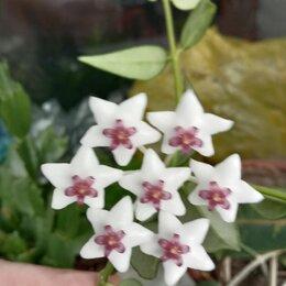 Комнатные растения - Цветок хойя Белла, 0