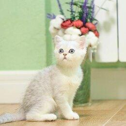 Кошки - Нэни ,нежный шотландский котеночек, 0