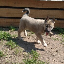 Собаки - Щенки Западно-сибирской лайки, 0