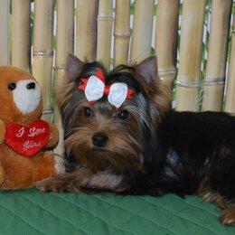 Собаки - Мальчик-йорк, 0
