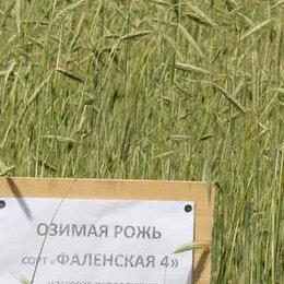 Семена - Продам семена озимая рожь - сорт ФАЛЕНСКАЯ 4, 0