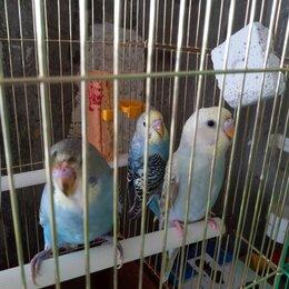 Птицы - Волнистый попугайчик домашний, 0