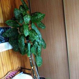 Комнатные растения - Диффенбахия стволовая пятнистая, 0