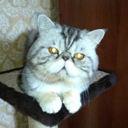 Кошки - Котик экзотический производитель, 0