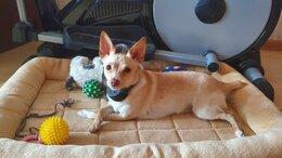 Собаки - Той терьер, шикарная кремовая девочка 12 месяцев , 0