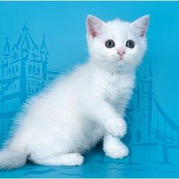 Кошки - Белая шотландская кошка, 0