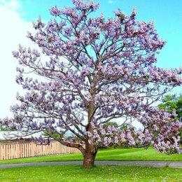 Рассада, саженцы, кустарники, деревья - Павловния войлочная цветение, 0