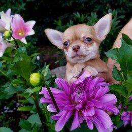 Собаки - Чихуахуа гш рыжая, очень красивая, 0