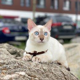 Кошки - Снежный бенгальский котёнок , 0