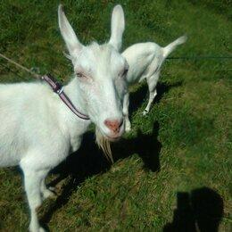 Сельскохозяйственные животные и птицы - Зааненская коза с козленком, 0