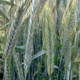 Семена - Продам семена озимая рожь - сорт ТАЛОВСКАЯ 44, 0
