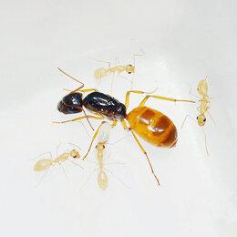 Другие - Camponotus fedtschenkoi (кампонотус федченкой), 0