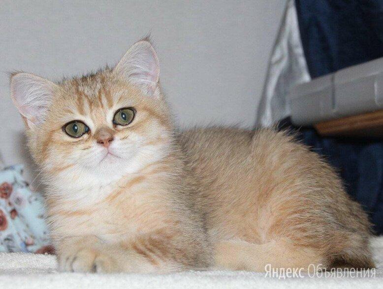Золотая Шиншилла  по цене 20000₽ - Кошки, фото 0
