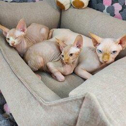 Кошки - Котята Канадского сфинкса голые малыши, 0