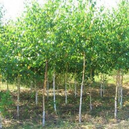 Рассада, саженцы, кустарники, деревья - Береза березки саженцы оптом с доставкой и посадкой, 0