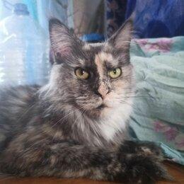 Кошки - Кошка мейнкун дымная черепаховая, 0