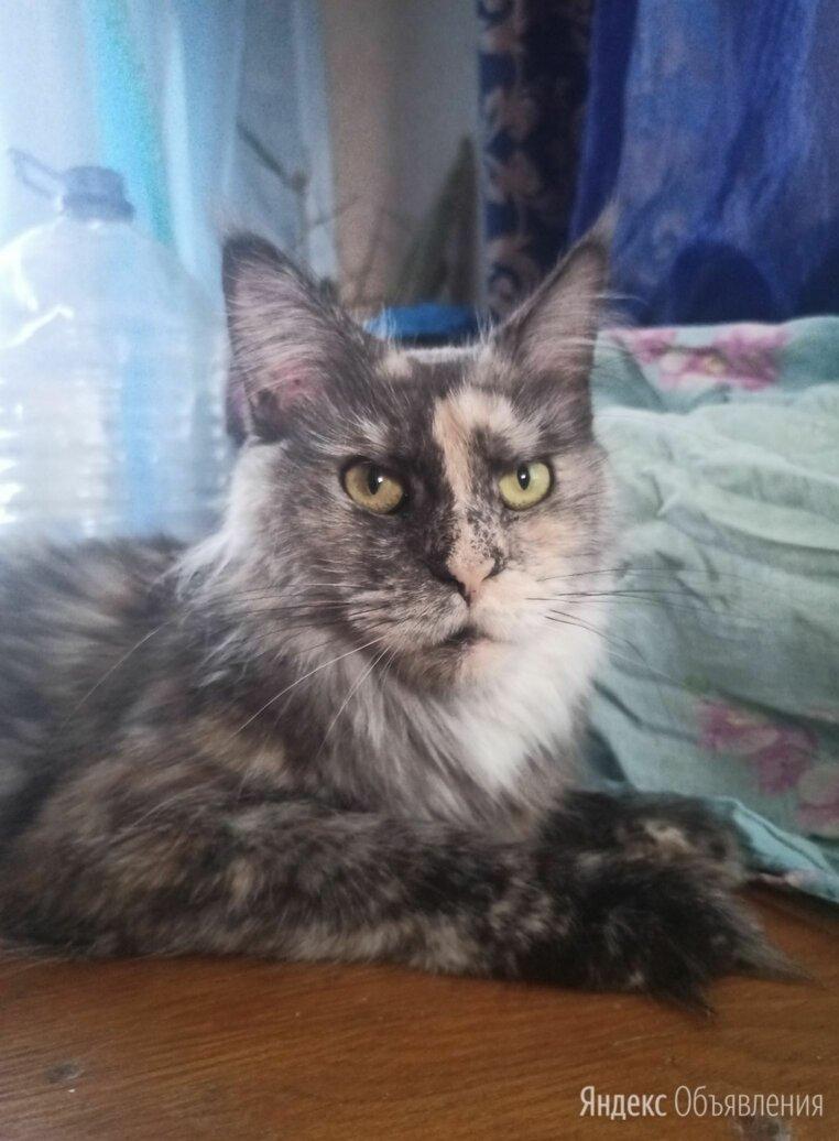 Кошка мейнкун дымная черепаховая по цене 3000₽ - Кошки, фото 0