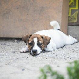 Собаки - Собака джек рассел терьер, 0