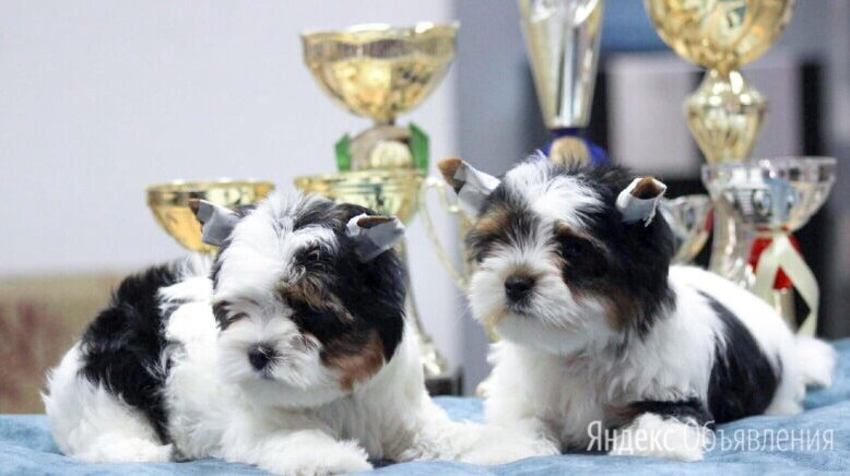 Бивер-йоркширский терьер  по цене 40000₽ - Собаки, фото 0