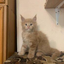 Кошки - Котёнок мейн кун , 0