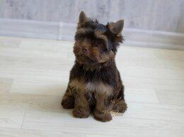 Собаки - Шоколадный йорк, мальчик Алекс, 0
