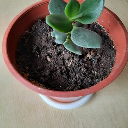 Комнатные растения - Толстянка денежное дерево, 0