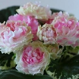 Комнатные растения - Комнатные цветы - фиалки, 0