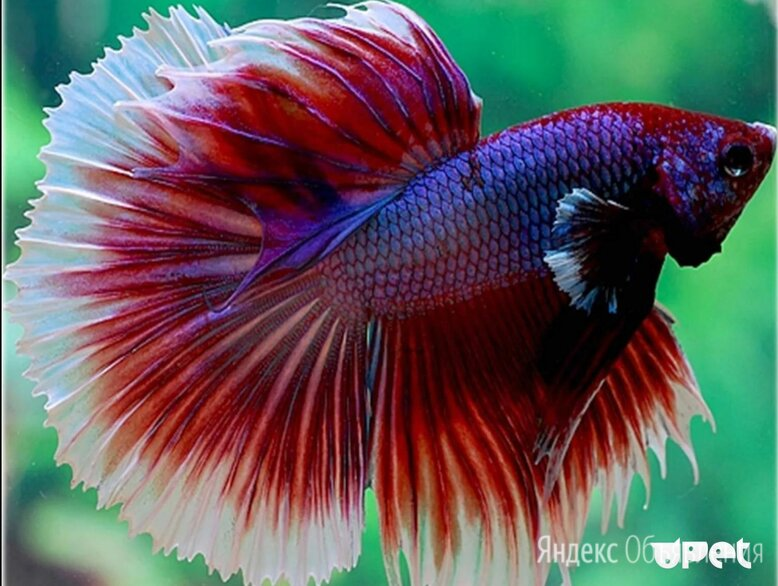Аквариумные рыбки по цене 30₽ - Аквариумные рыбки, фото 0