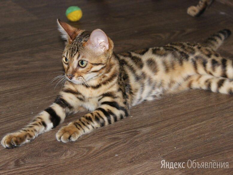 бенгальская кошка по цене 20000₽ - Кошки, фото 0