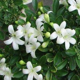 Комнатные растения - Муррайя «японский мирт» или «японский жасмин», 0