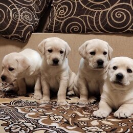 Собаки - Щенки Лабрадора, 0