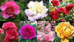 Рассада, саженцы, кустарники, деревья - Большой выбор сортов роз для Москвы и Подмосковья, 0
