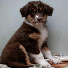 Собаки - Щенок Австралийской овчарки, 0