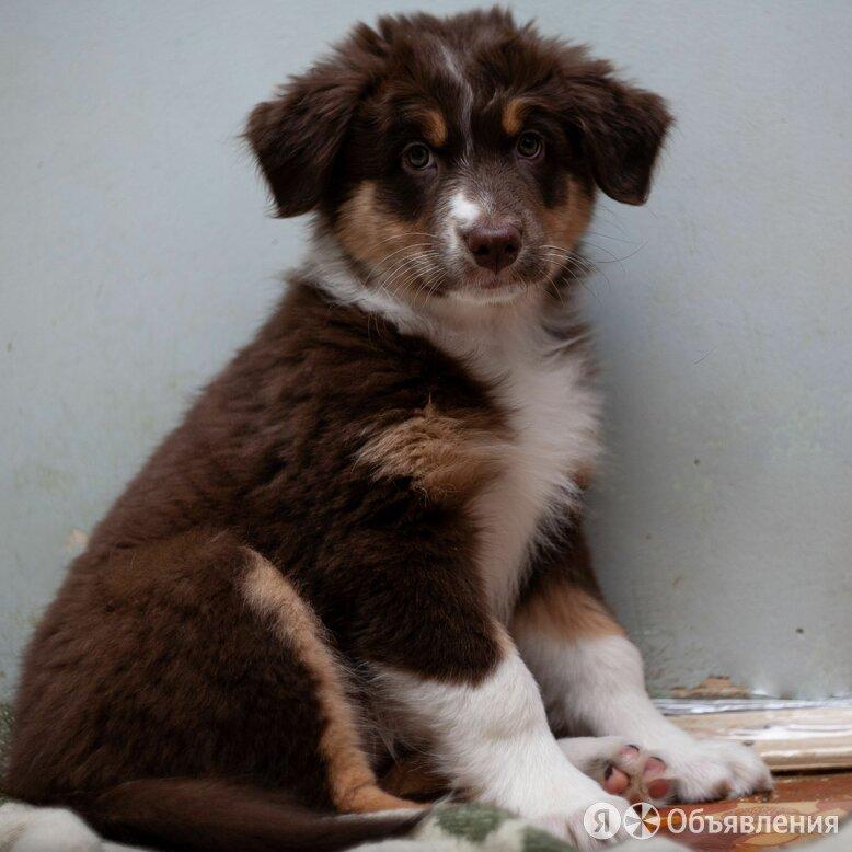 Щенок Австралийской овчарки по цене 45000₽ - Собаки, фото 0