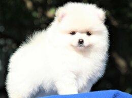 Собаки - Померанский шпиц щенки, 0