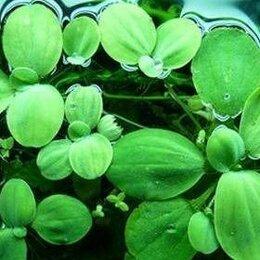 Растения для аквариумов и террариумов - Пистия (водный салат), 0