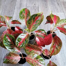 Комнатные растения - Аглаонема Престиж, 0