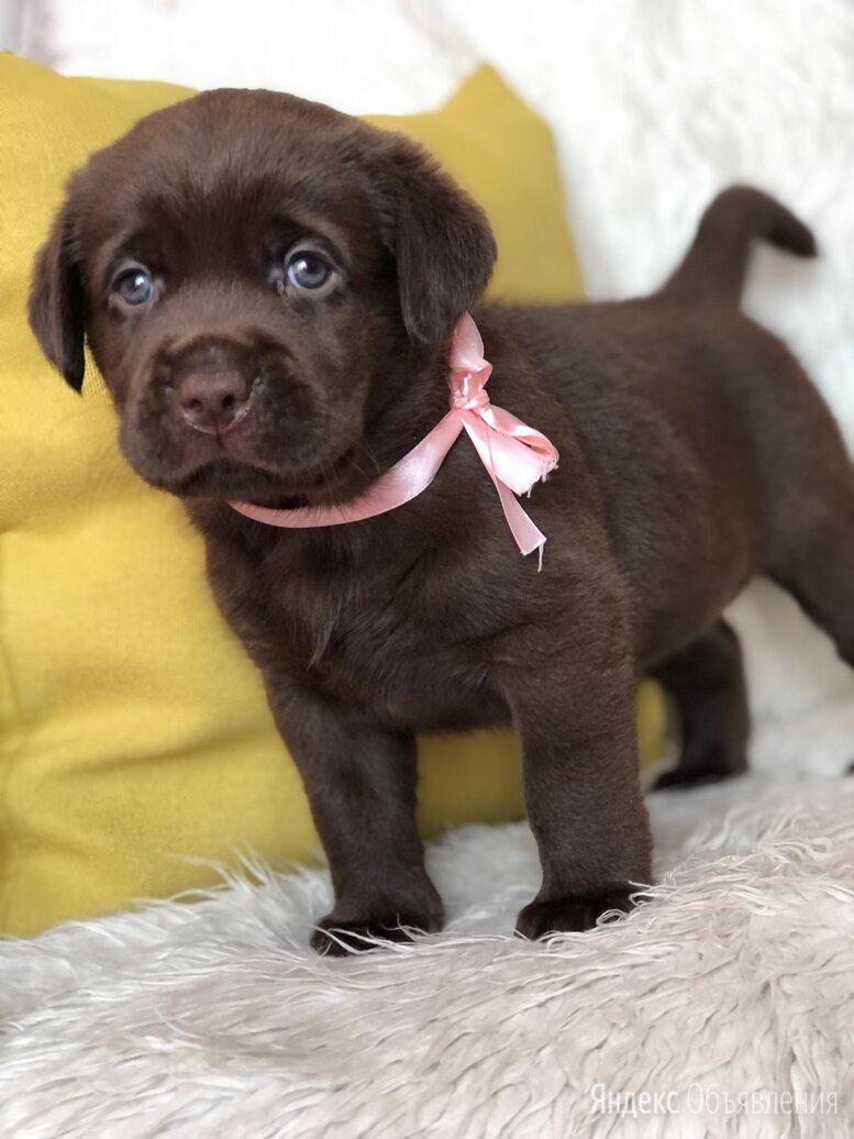 Шоколадный лабрадор щенок по цене 25000₽ - Собаки, фото 0