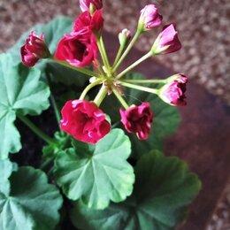 Комнатные растения - Пеларгония сортовая очень красивая, 0