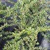 Кизильник блестящий по цене 200₽ - Рассада, саженцы, кустарники, деревья, фото 2