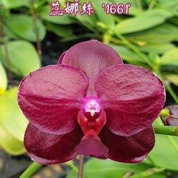 Комнатные растения - Орхидея, фаленопсис Phal. Sogo Relex '1661', Ароматный, 0