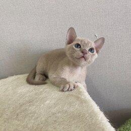 Кошки - Лиловые бурманцы , 0